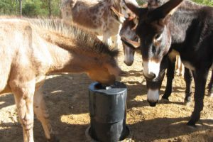 Mule Drinking from Automatic Waterer Horse Drinker Bar Bar A