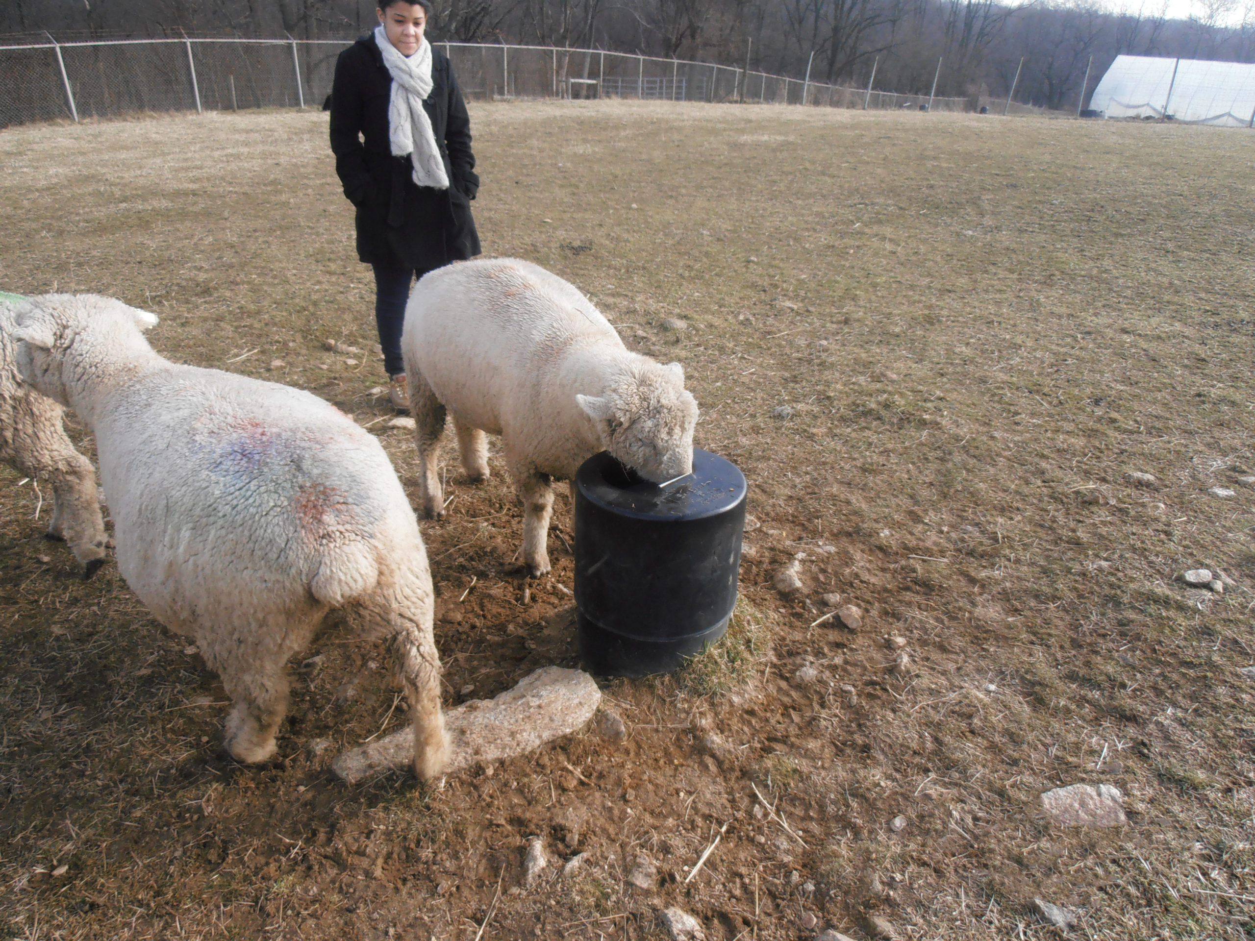 Sheep and Goat Drinker Bar Bar A Automatic Livestock Waterer
